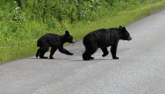 2 Bären queren eine Straße in Kanada